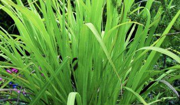 Óleo essencial de palmarosa : usos e benefícios